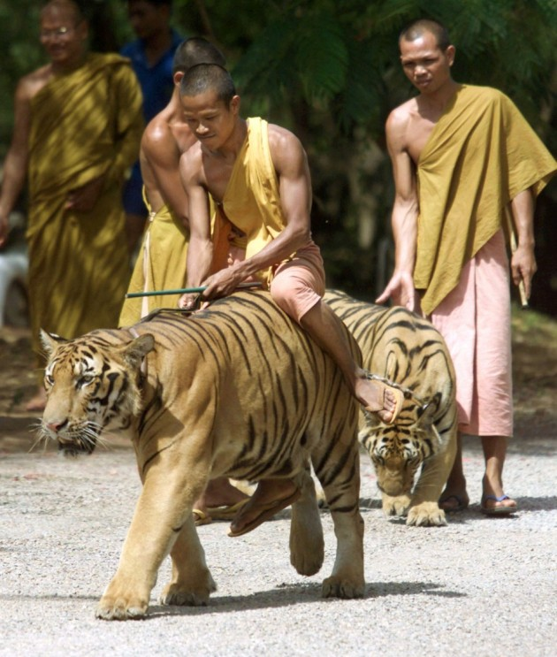 tiger-temple-thailand-growing-tourism-hot-spot-where-wild-stays-monks